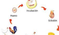 Ciclo de vida de las aves