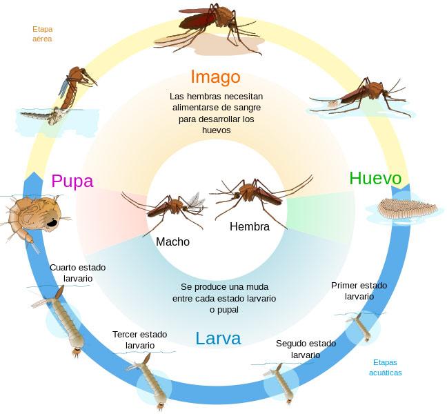 Ciclo de vida del zancudo