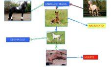 Ciclo de vida de los caballos