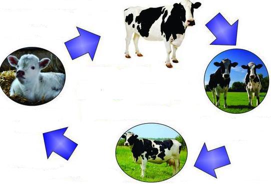 Ciclo de vida de la vaca - Ciclo de vida