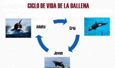 Ciclo de vida de la ballena