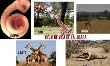 Ciclo de vida de la jirafa
