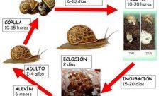 Ciclo de vida del caracol
