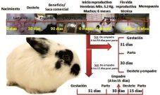 Ciclo de vida de un conejo