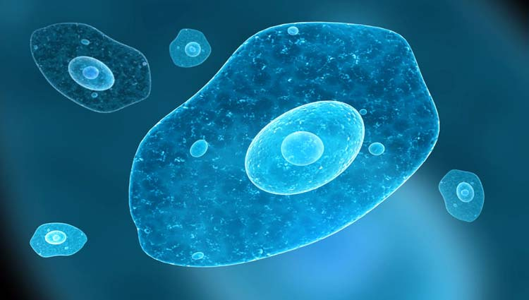 ciclo de vida de la ameba