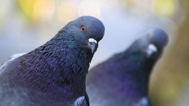 ciclo de vida de las palomas