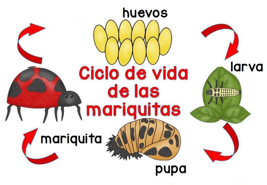aprende del ciclo de vida de la mariquita