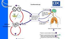 Ciclo de vida de la Salmonella