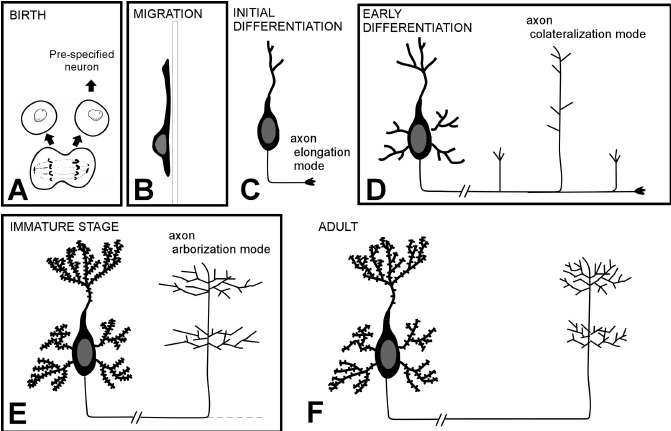 Ciclo de vida de las neuronas