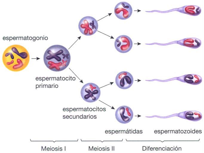 conoce el ciclo de vida de los espermatozoides