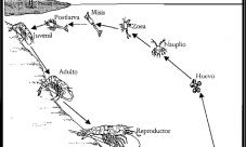 Ciclo de vida del camarón