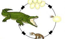 Ciclo de vida del cocodrilo