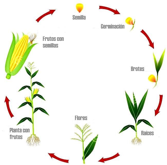 Ciclo de vida del maíz