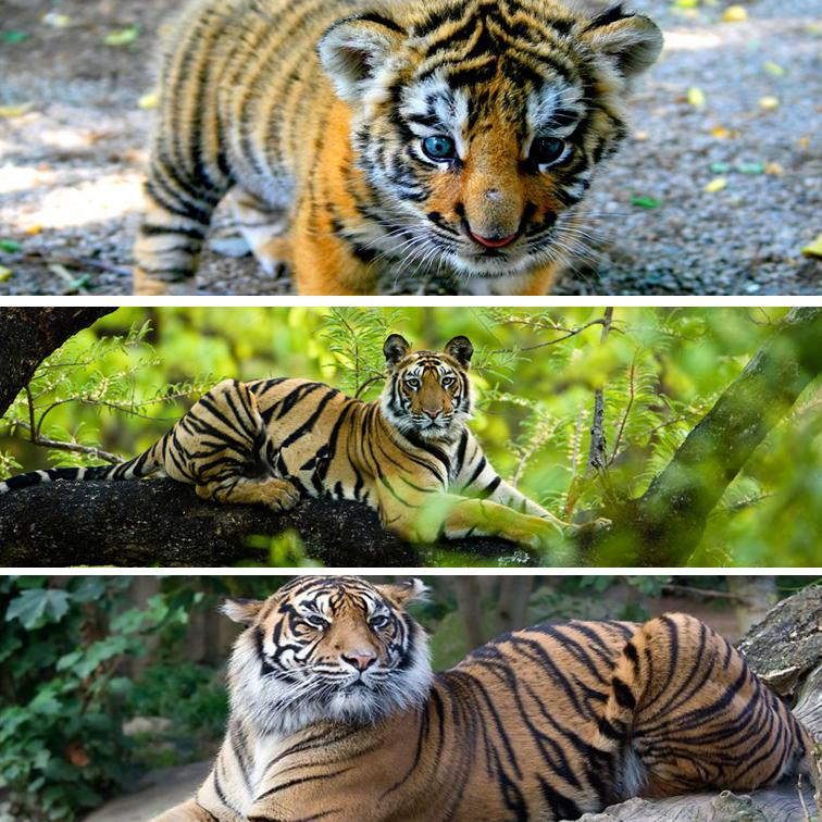 conoce el ciclo de vida del tigre