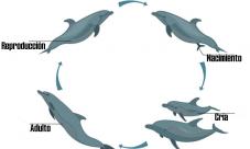 Ciclo de vida del delfin