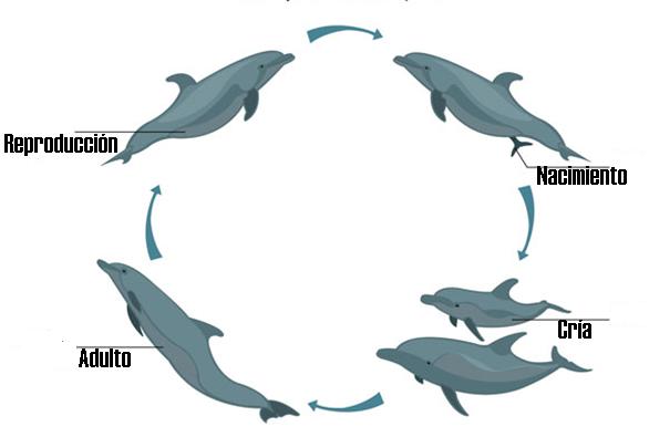 Ciclo de vida del delfín