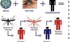 Ciclo de vida del dengue
