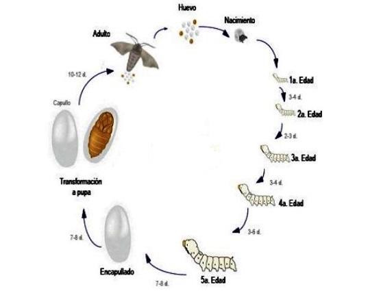 Ciclo de vida del gusano de seda