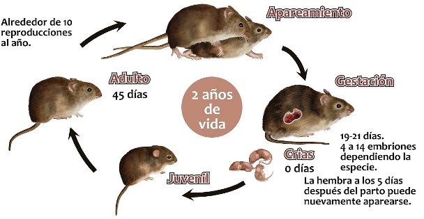 Ciclo de vida de los ratones
