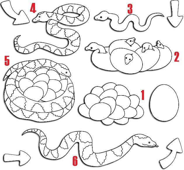 ciclo de vida de las serpientes