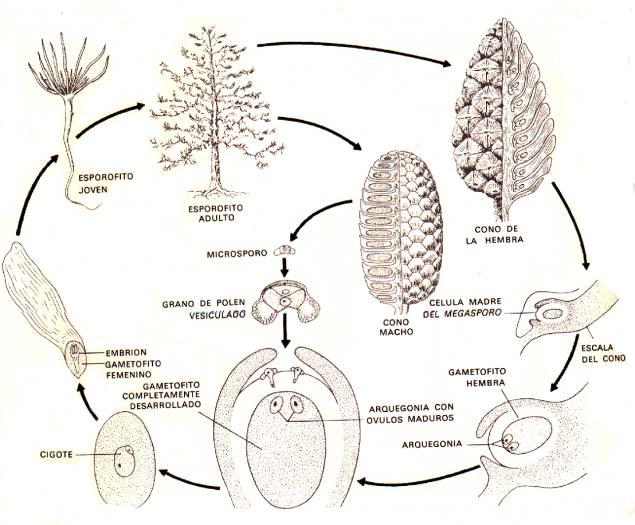 crecimiento pino